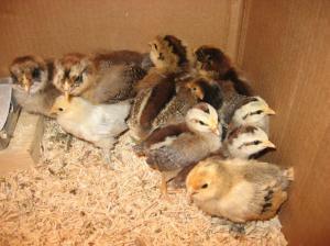 Bantam and auracana chicks. Photo by Naomi Moyer