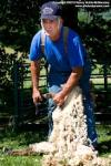 Sheep shearing demonstration at the Plymouth Old Home Day
