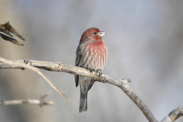 house-finch-winter-7957048Medium