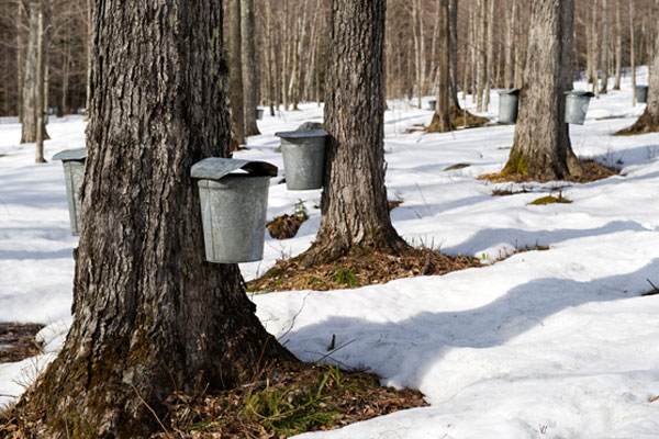 maple-trees-with-buckets